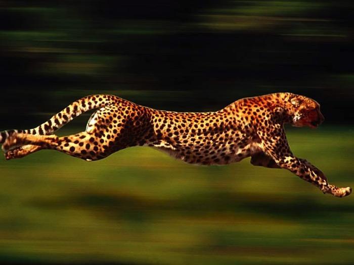 69320 animal lovers gepard