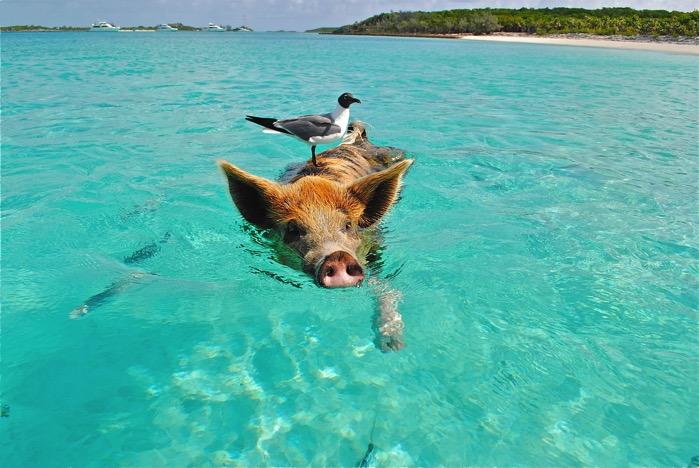 Staniel cay swimming pig seagull fish 66258
