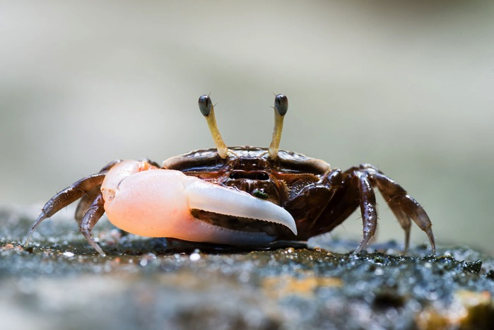 Uca sp fiddler crab Tarutao National Marine Park 16668955211