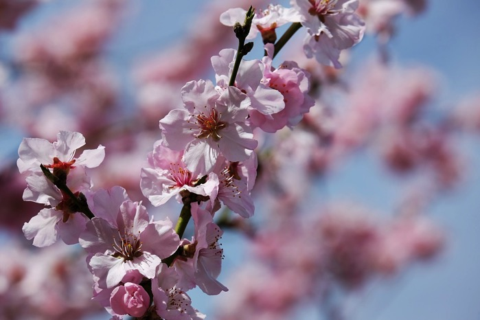 Japanese cherry trees 3275415 1280