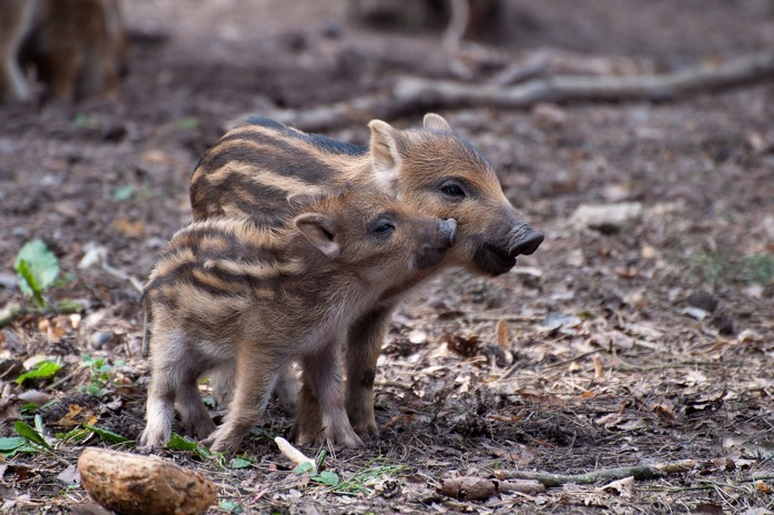 Little pig 2224212 1280