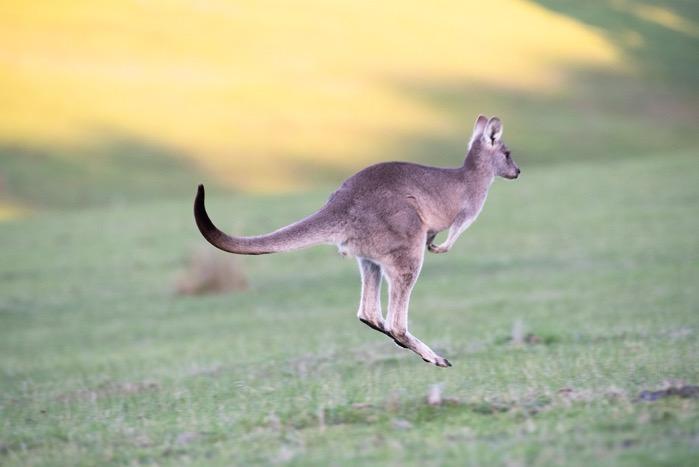 Kangaroo 4316457 1280
