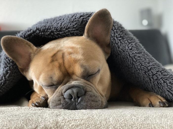 French bulldog 4713013 1280